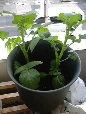ジャガイモ成長中