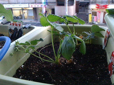 イチゴ成長中