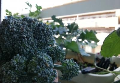 収穫したブロッコリー