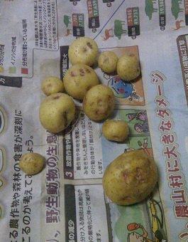 去年のジャガイモ